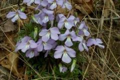 Birdsfoot Violet