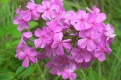 Garden Phlox