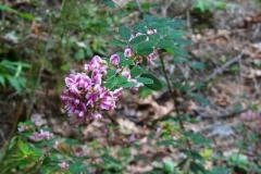 Wandlike Bush Clover