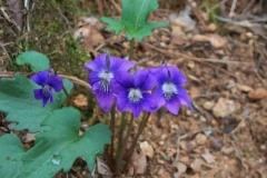 arrow_leaved_violet