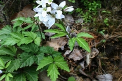 Broad Leaf Toothwort