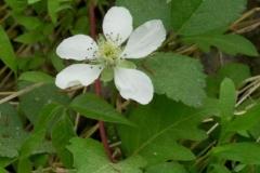 Common Strawberry